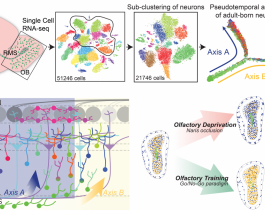 Research Identifies Complex Of Neurons >> Understanding Formation Of Neurons In Adult Brains Nri